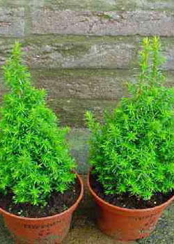 Chamaecyparis thyoides Excellent Point 'Gizeh'