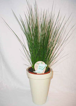 Juncus'Pencil Grass'