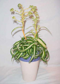 Chlorophytum comosum variegatum 'Bonnie'