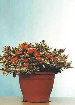 Solanum diflorum 'Ivema'